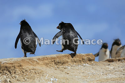 Clean Southern Rockhopper Penguins (Eudyptes chrysocome chrysocome) fresh from the sea passing dirty ones leaving the colony,...