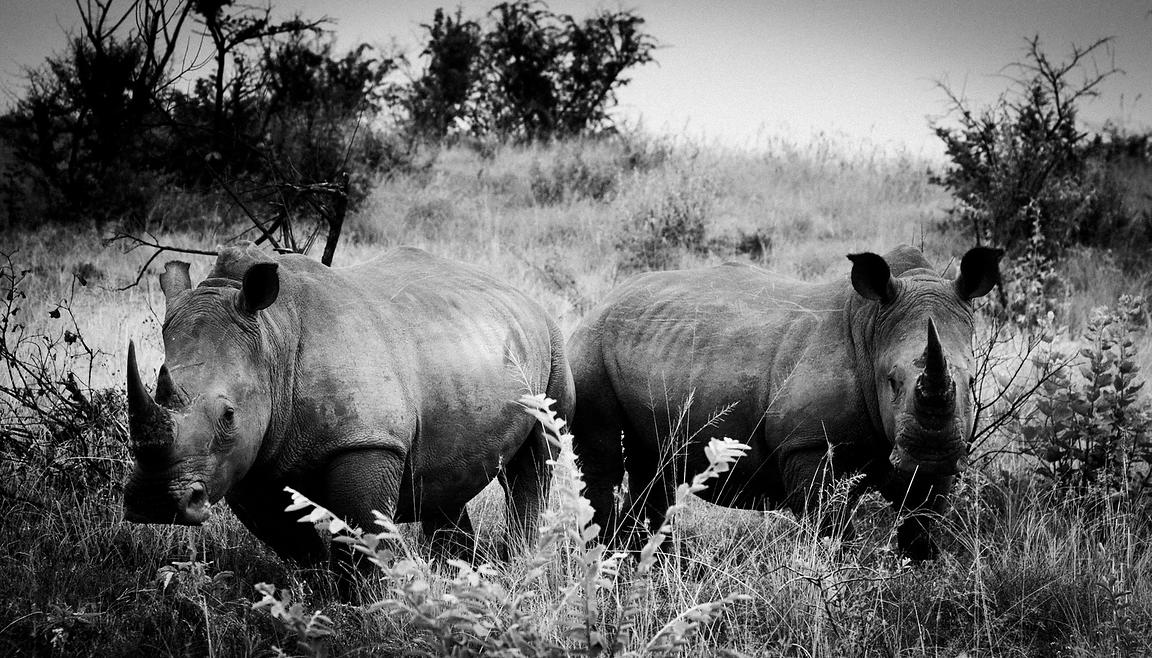4886-Rhino-Horn_of_Africa_I_South_Africa_2004_Laurent_Baheux