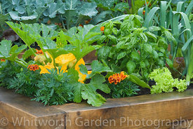 Raised wooden vegetable bed with Courgette, Tagetes (Marigold), and Basil. © Jo Whitworth