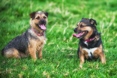 Sybil and Geegee have a 2 minute break from going crazy round the farms fields!