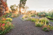 Gravel garden with Stipa gigantea catching the early morning sun, with Stachys byzantina, foxgloves antirrhinums, evening pri...