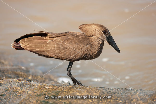 Hamerkop (Scopus umbretta), MalaMala Game Reserve, Greater Kruger National Park, South Africa