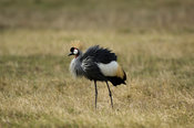 Grey crowned crane (Balearica regulorum), Maasai Mara National Reserve, Kenya