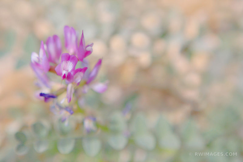 DESERT WILDFLOWER