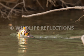 giant_river_otter_fish_pull-1