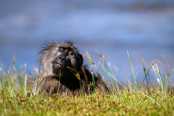 A baboon from the Buffels Bay troop relaxes along the beach at Buffels Bay, Cape Peninsula, South Africa.