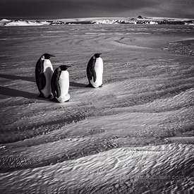 Three Isolated Emperor Penguins