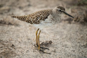 Wood sandpiper, Tringa glareola, Ishasha sector in Queen Elizabeth National Park, Uganda