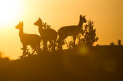 Klipspringers standing on a rock at sunset (Oreotragus oreotragus), Serengeti National Park, Tanzania