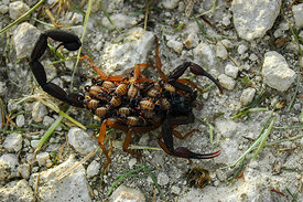 Mother Scorpion and Babies