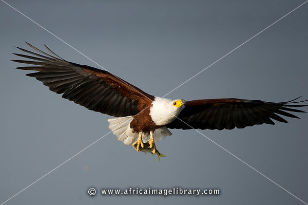 African Fish Eagle with fish in flight (Haliaeetus vocifer) , Akagera National Park, Rwanda
