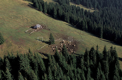 Shepherd's summer camp with hut and livestock on summer pasture Transylvania, Romania