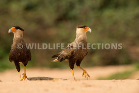 caracara_three_brothers_beach-7