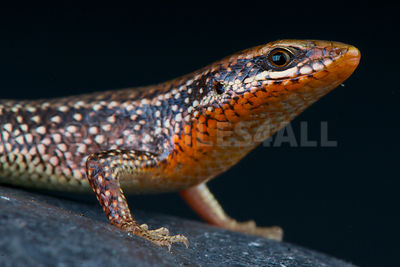 Speckeled forest skink (Eutropis macularia)