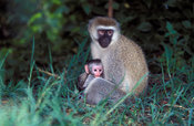 vervet monkey with young (Cercopithecus aethiops), lake Mburo National Park, Uganda