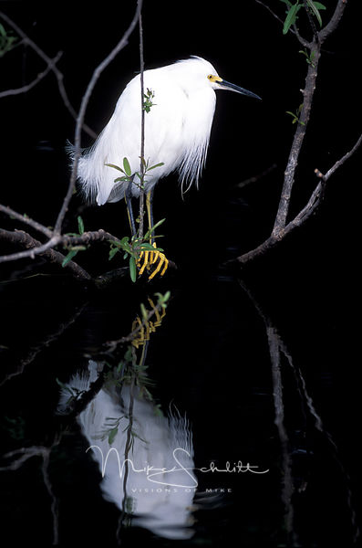 Florida_Snowy_Egret_Reflection