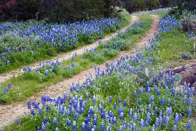 Road through the Bluebonnets
