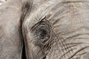 African elephant's eye ( Loxodonta africana africana), Kapama Game Reserve, Greater Kruger National Park, South Africa