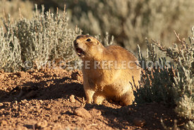 utahprairiedog_fierce_defender