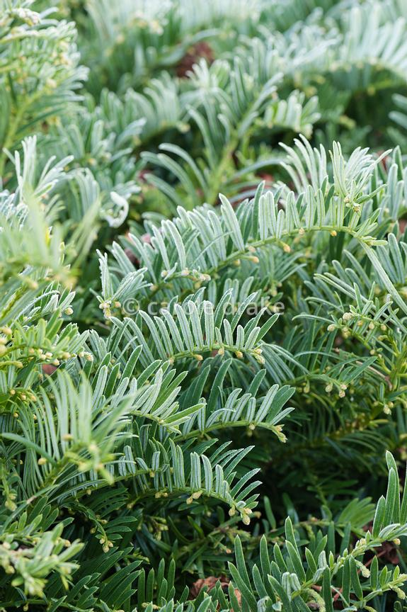Cephalotaxus harringtonia var. drupacea, Japanese plum yew.