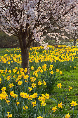 Prunus 'Pandora' underplanted with Narcissus 'Saint Keverne'. © Rob Whitworth