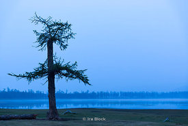 A tree by Lake Khövsgöl, the largest fresh water lake by volume in Mongolia.
