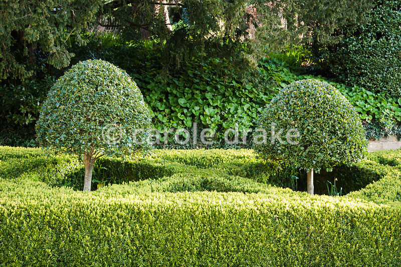 Clipped hollies rising from a frame of clipped box in the front garden at the Old Rectory, Netherbury, Dorset
