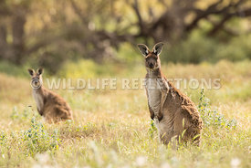 kangaroo_western_grey_white_flowers-6