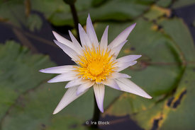 A flower in a pond in Taipei, Taiwan