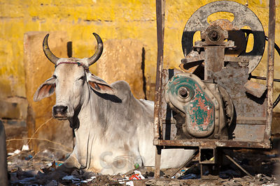Cow on a construction site in Jaisalmer, Rajasthan, India