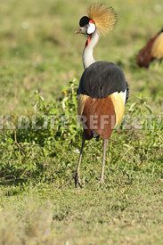 crested_crane_back_turned_1
