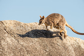 rock_wallaby_mareeba_rock_top_hop-3
