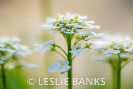 White Candytuft Flowers in the Garden