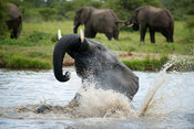 African elephant bathing ( Loxodonta africana africana), Kapama Game Reserve, Greater Kruger National Park, South Africa