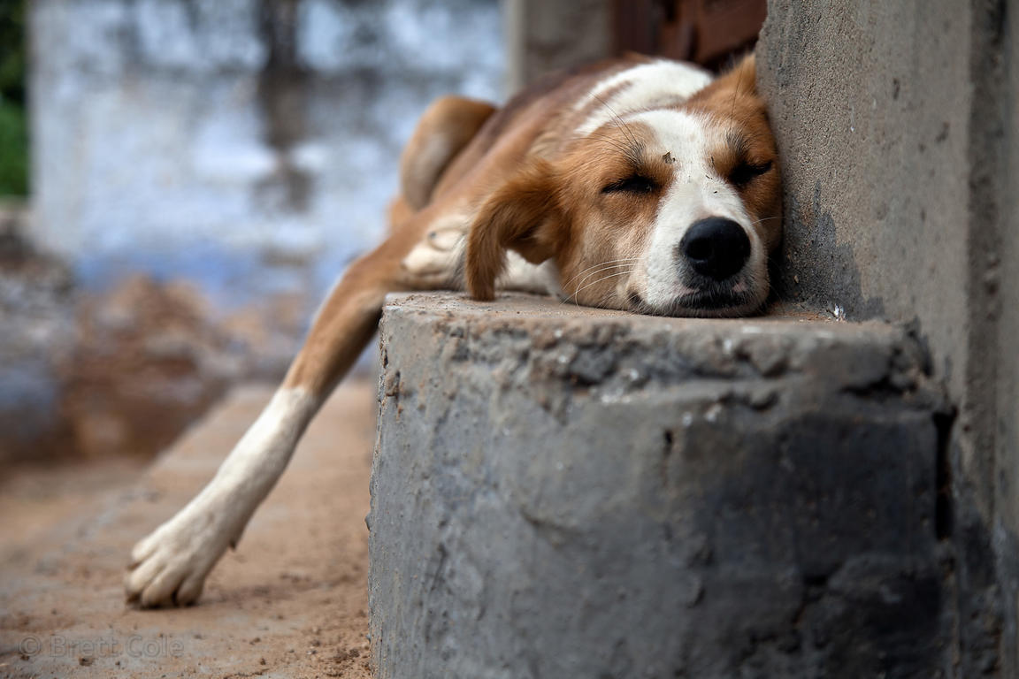 Sleeping dog in Pushkar, Rajasthan, India
