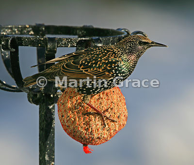 Starling (Sturnus vulgaris) perching on a fat ball in a Cumbrian garden with the sun shining on its iridescent plumage, Lyth ...