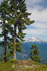 Mountain Hemlocks (Tsuga mertensiana) with Glacier Peak in the distance from Mt. Forgotten Meadows, Mt. Baker-Snoqualmie Nati...