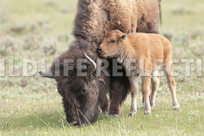 bison_calf_nuzzling_mom