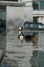 Urban Ducks