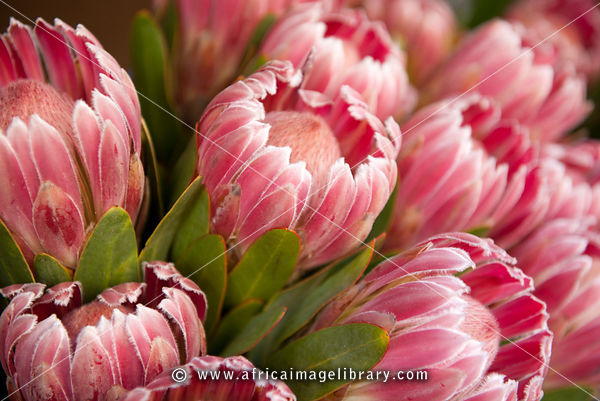 Proteas for sale at Trafalgar Place, Cape Town, South Africa