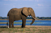 African elephant (Loxodonta africana) at the Zambezi river, Lower Zambezi National Park, Zambia