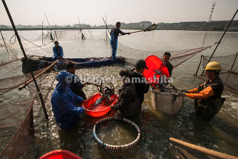 Fish pond in Dacheng supplies Wuxi fish market. Pics of netting fish.