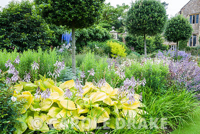 Herbaceous borders lining the croquet lawn feature standard holm oaks, Quercus ilex, underplanted with Hosta 'Sum and Substan...