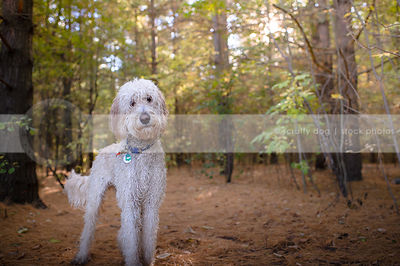 curious wet curly coated doodle dog with head tilt standing in forest
