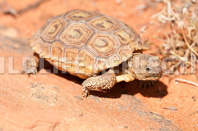 desert_tortoise_baby_rock_walking_6