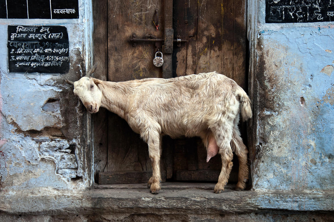 Goat in a doorway in Bharatpur, Rajasthan, India