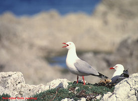 May - Red-billed Gull