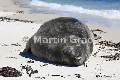 Southern Elephant Seal (Mirounga leonina) sleeping on the beach, Carcass Island, Falkland Islands