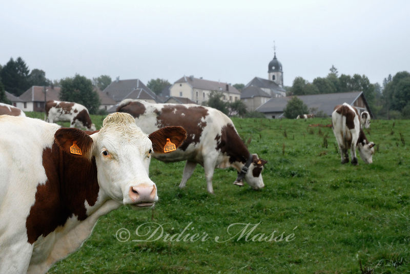 Vaches 2 Passonfontaine 1 Doubs 09/10