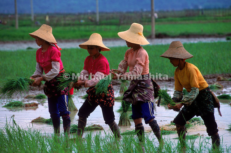 Bai woman transplanting rice for one of the annual harvests in Yunnan, China